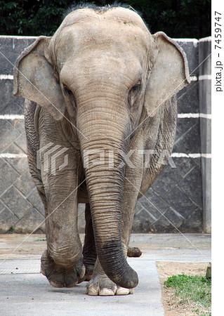 アジアゾウの画像 p1_26