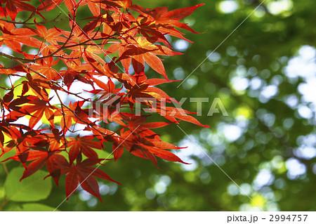 血汐紅葉の写真素材 - PIXTA