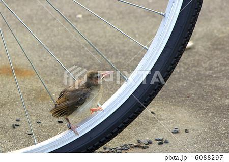 自転車のスポークに乗るヒヨドリ