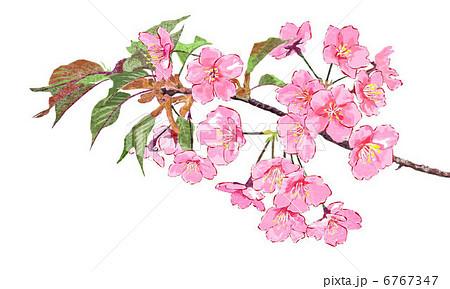 桜 4月の花 はがき絵 緋寒桜のイラスト素材 Pixta