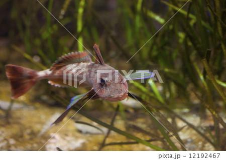 ホウボウ 飼育 竹麦魚 魴の写真...