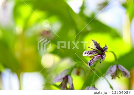 モクレン亜綱の写真素材 - PIXTA