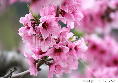 ดอกพีช ข้อความไหนจึงเกี่ยวข้องผู้พันประเภทแนบเคียงฝืดกับดักงานเทศกาลเยาวชนนารี