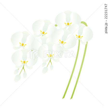 胡蝶蘭のイラスト素材 22231747 Pixta