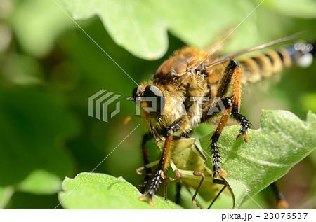 スズメバチ亜科の写真素材 - PIX...