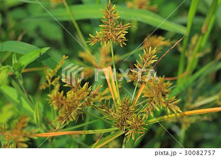 カヤツリグサ 雑草の写真素材 - ...