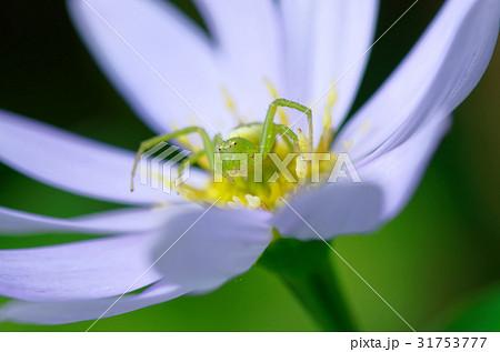 花 蜘蛛 花蜘蛛 虫の写真素材 - PIXTA
